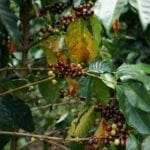 Kaffe fra Colombia