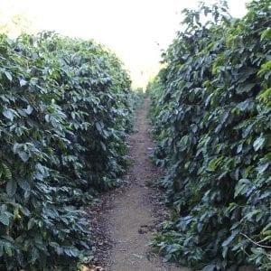 Kaffe fra Brasil